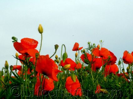Poppies up close at Fårö island, Gotland, Sweden, Copyright Lifecruiser.com