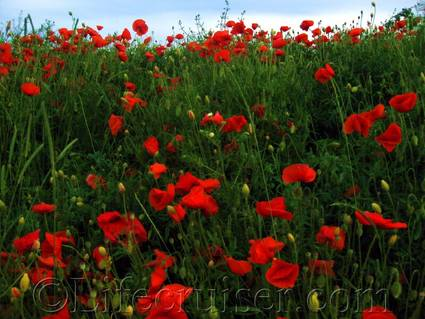 Poppies at Fårö island, Gotland, Sweden, Copyright Lifecruiser.com
