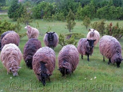 Sheep herd, Fårö island, Gotland, Sweden, Copyright Lifecruiser.com