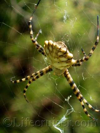 Spider at Gaou Isle, France