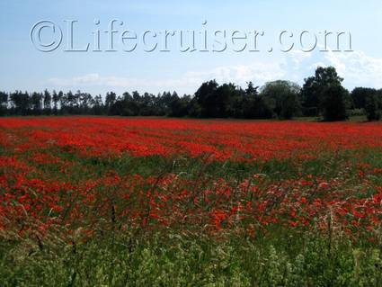 Poppy field at Fårö island, Gotland, Sweden, Copyright Lifecruiser.com