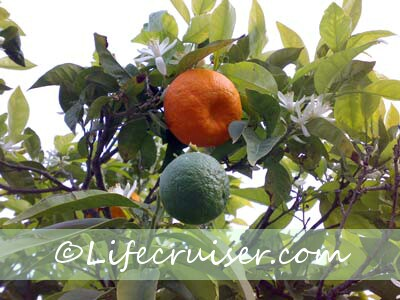 Lifecruisers green orange