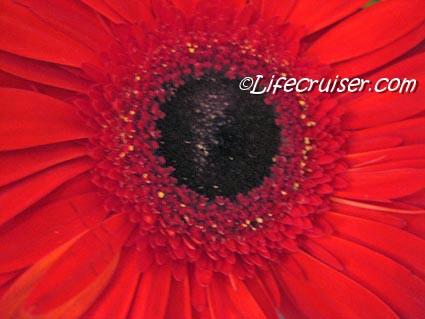 Lifecruiser Red Flower Closeup