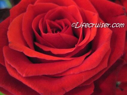 Lifecruiser Red Rose