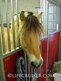 Lifecruiser photo Norwegian Fjord horse looking out from box