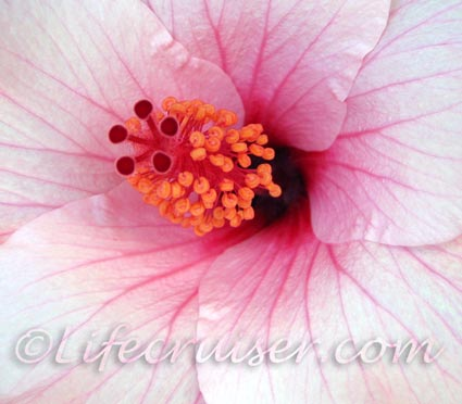 Pink Hibiscus, Tenerife, Canary Islands, Spain, Photo by Lifecruiser