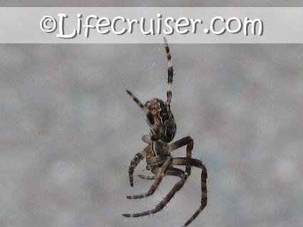 Lifecruisers theme Sad Spider