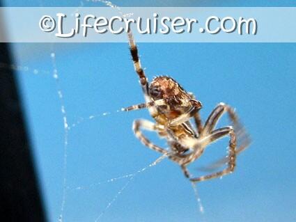 Lifecruisers theme Sad Spider wild