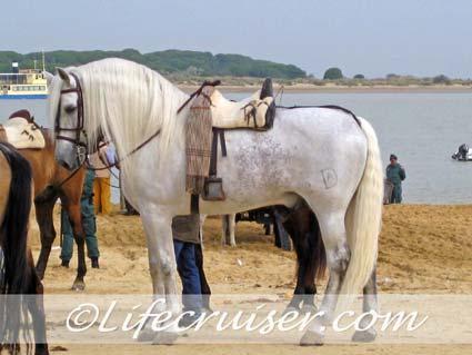Romeria San José white horse at Sanlúcar ferry line, Photo by Lifecruiser
