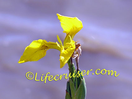 Yellow Water Iris with colorful background, El Rocio, Spain, Photo by Lifecruiser