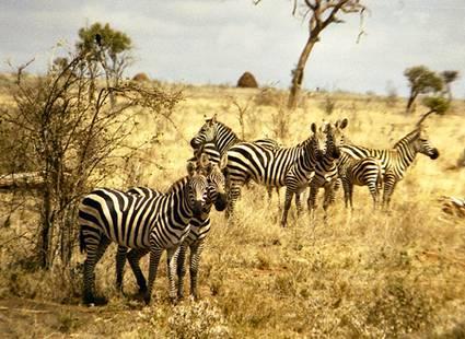 Africa holiday safari zebra