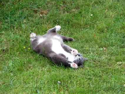 faro-farm-cat-floyd-rolling, Gotland, Sweden