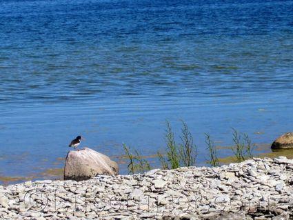 Oystercather, Fårö island, Gotland, Sweden