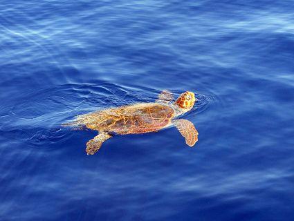 Greece, Zakynthos: Caretta Caretta turtle, Gerakas beach