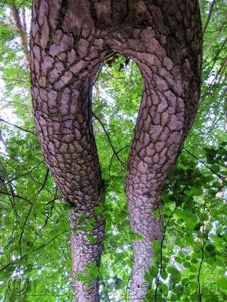 Norwegian tree troll legs