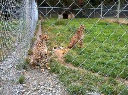 nz-orana-wildlife3-leopards