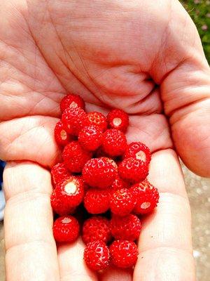 Sweden, Fårö Smultron berries