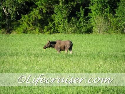 Swedish moose loose