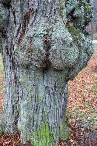 Swedish-woman-tree