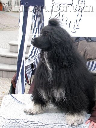 world-dogs-portuguese-water-dog